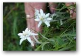 Edelweiss...Edelweiss...  » Click to zoom ->